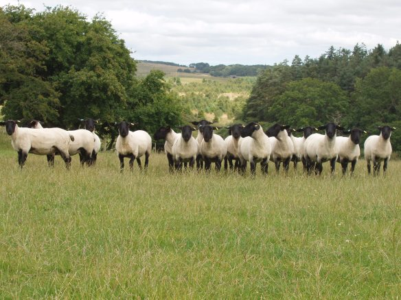 Suffolk Female Shearlings for sale August 2013 B