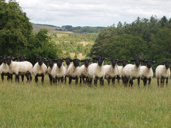 Suffolk Female Shearlings For Sale August 2013