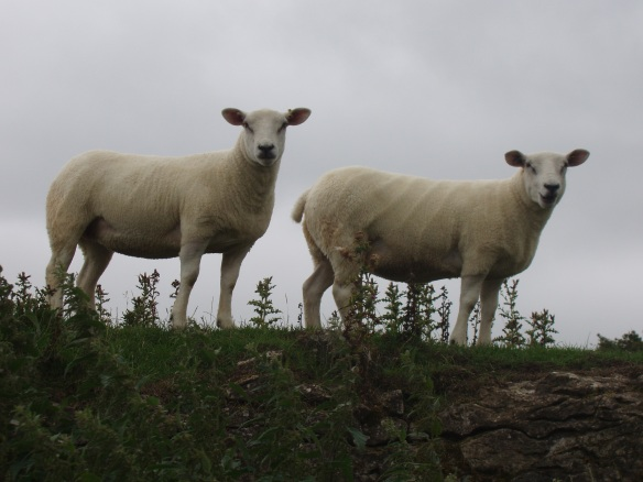 Texel female shearlings For Sale 2013 A