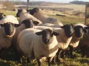 2/3 crop ewes