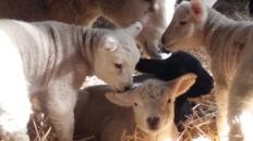 Lambs close up 2019