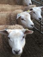 Texel ewe lambs